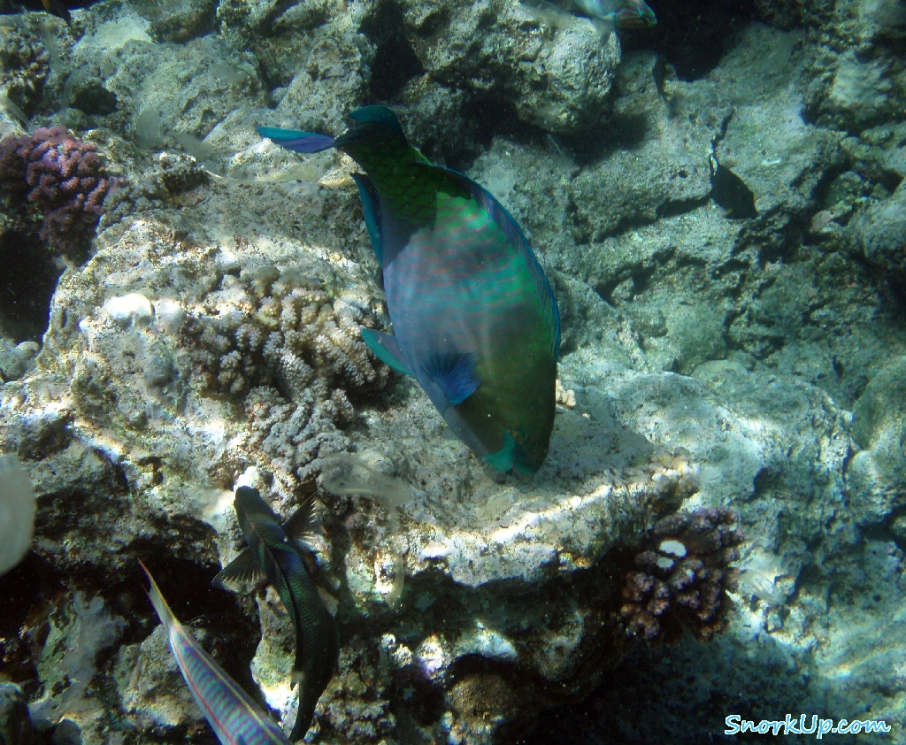 Крутолобый попугай (лат.Chlorurus gibbus, анг.Heavybeak parrotfish)