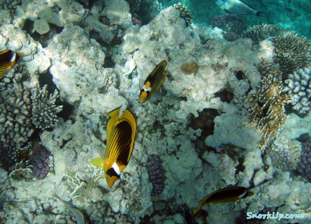 Полосатые рыбы-бабочки Chaetodon fasciatus