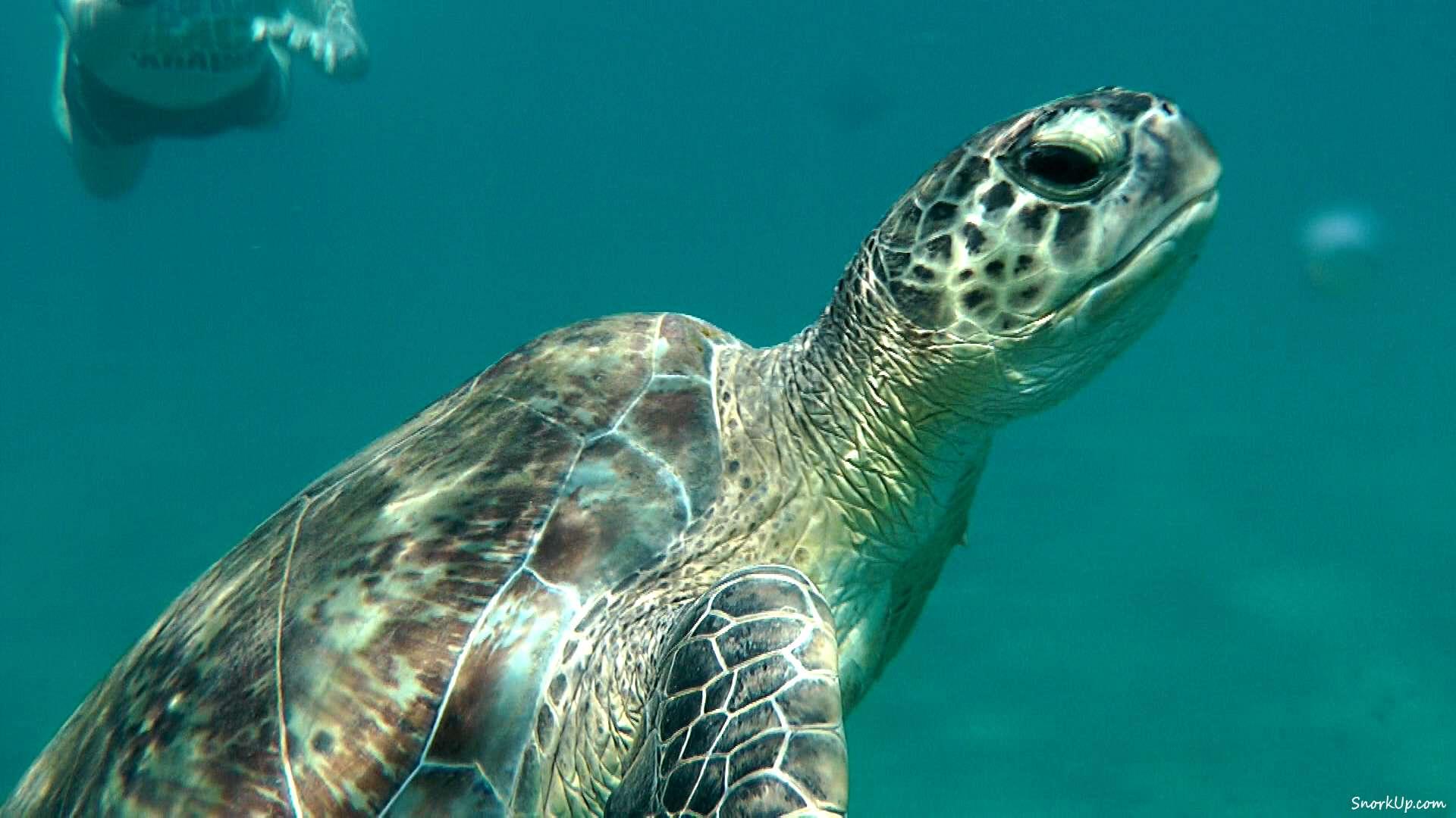 Зелёная (или суповая) черепаха - лат.Chelonia mydas