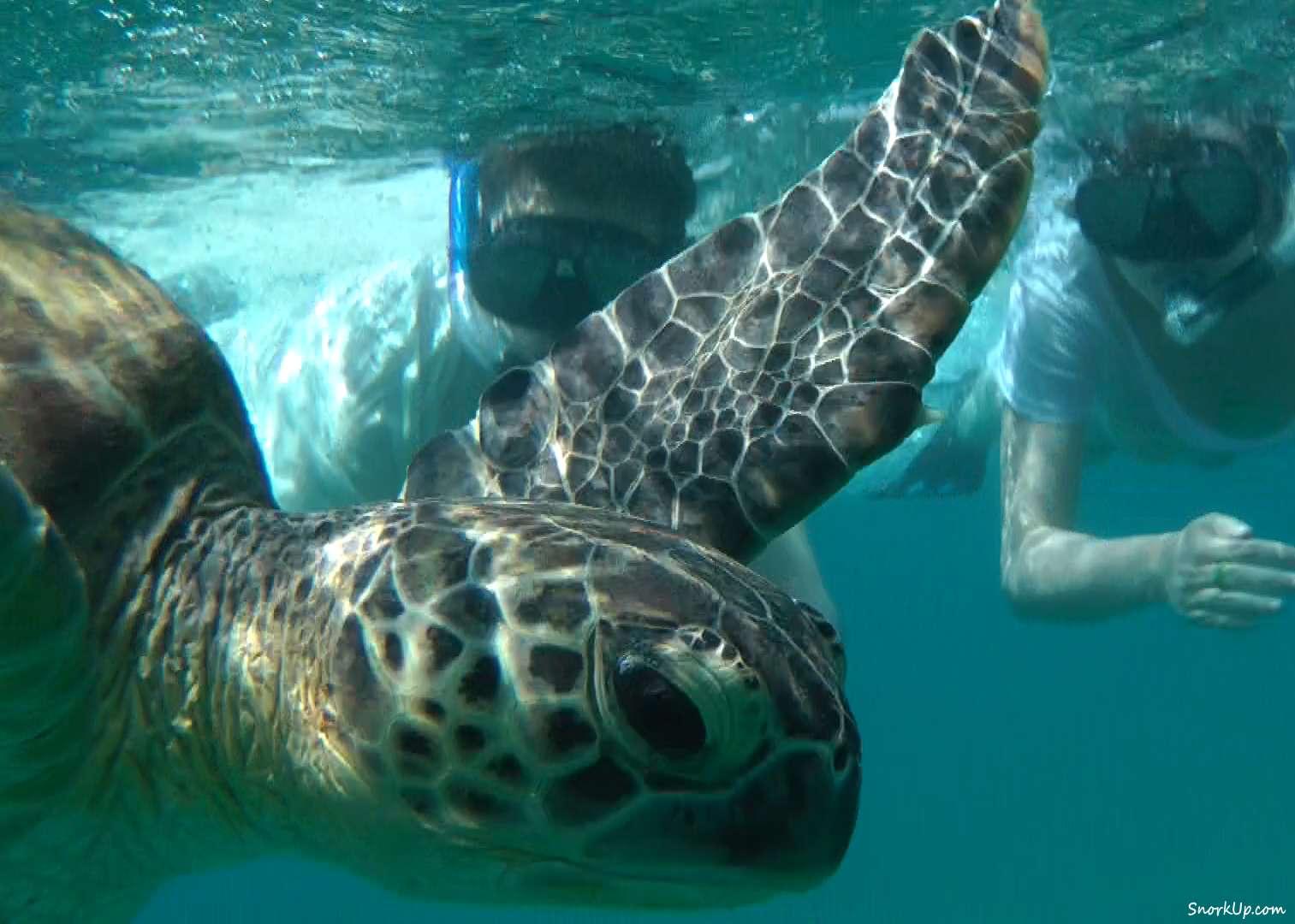 Зелёная черепаха (лат.Chelonia mydas, анг.Green turtle)