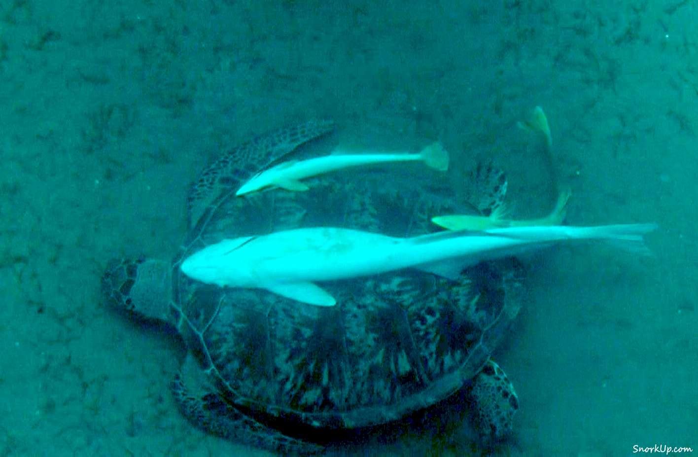 Chelonia mydas - рыбы-прилипалы могут быть длиннее своего «транспортного средства»