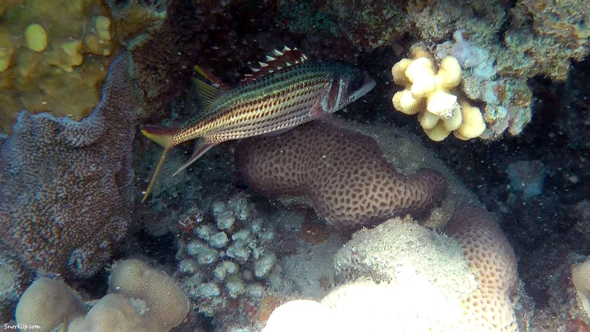 Пламенщик пятнистый (лат.Neoniphon sammara, анг.Sammara squirrelfish)