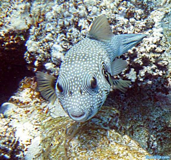 Щетинистый аротрон - Arothron hispidus - White-spotted puffer
