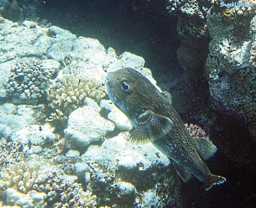 Длинношипая рыба-ёж (лат.Diodon hystrix, анг.Spot-fin porcupinefish)