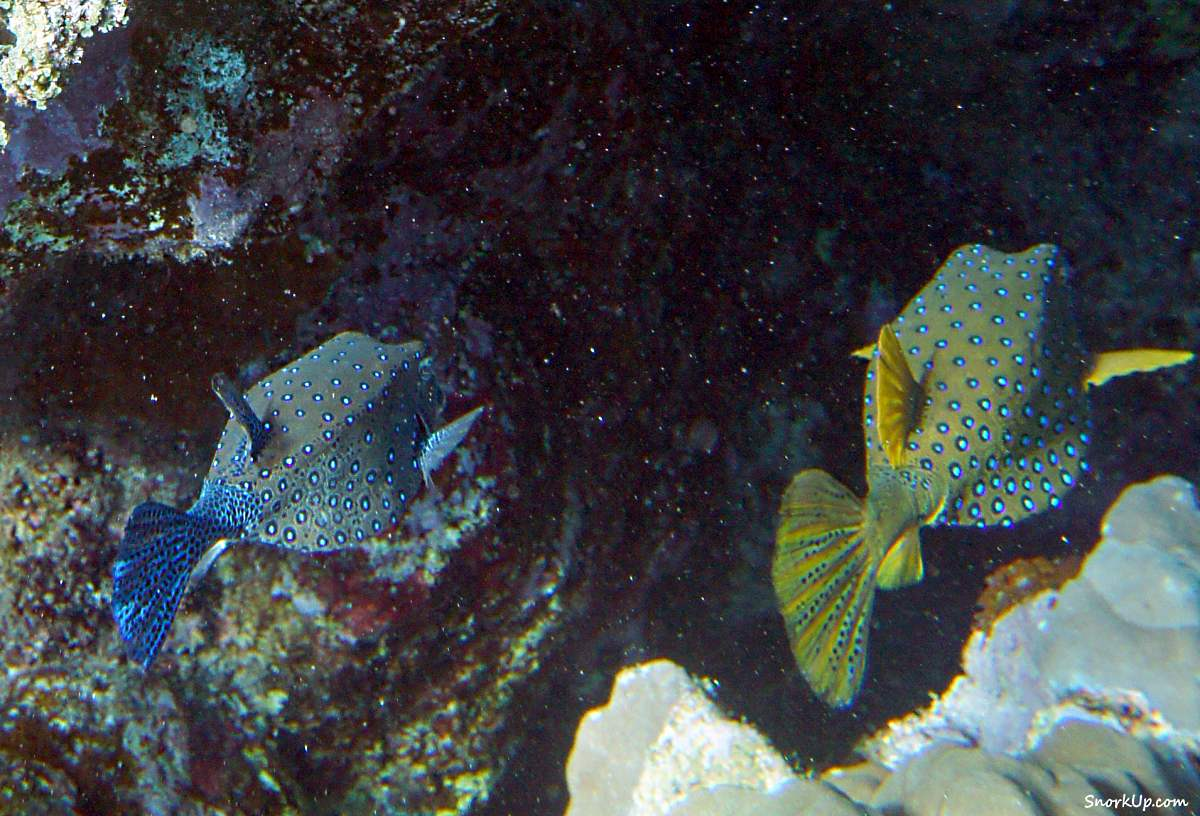 Кузовок кубик (лат.Ostracion cubicus, анг.Yellow boxfish) - вроде синий это мужик, а жёлтенькая - дама :)