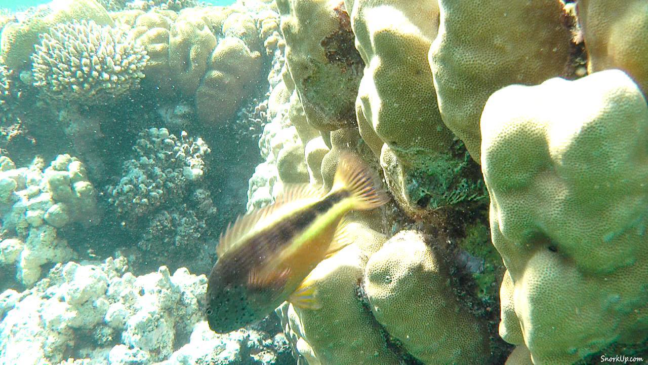 Крапчатый кудрепер (лат.Paracirrhites forsteri, лат.Blackside hawkfish)