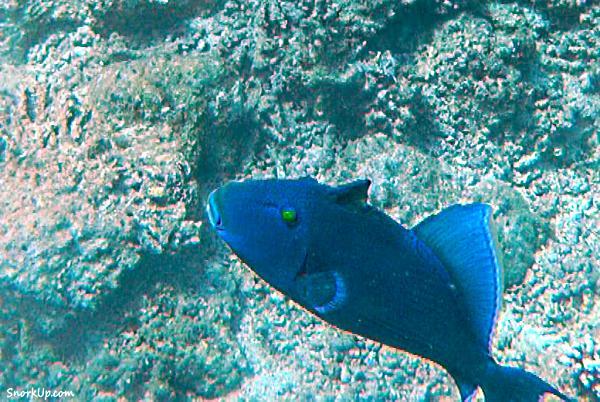 Голубой псевдобалист (лат.Pseudobalistes fuscus, анг.Blue triggerfish)