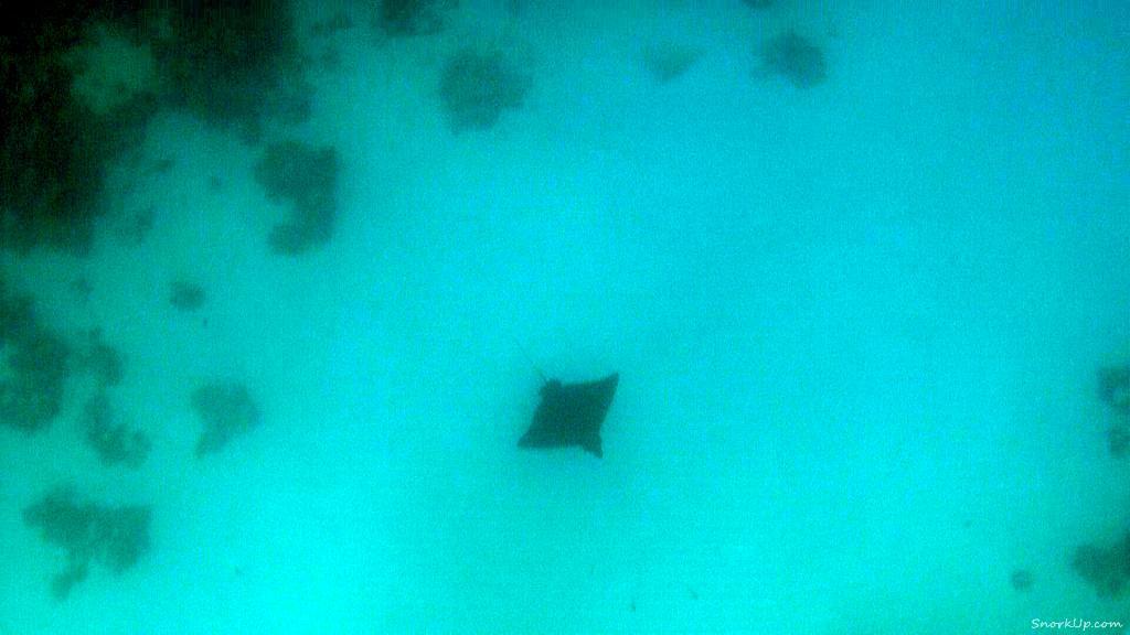 Скат-орляк на глубине - виден только силуэт - а как шумел гид :))