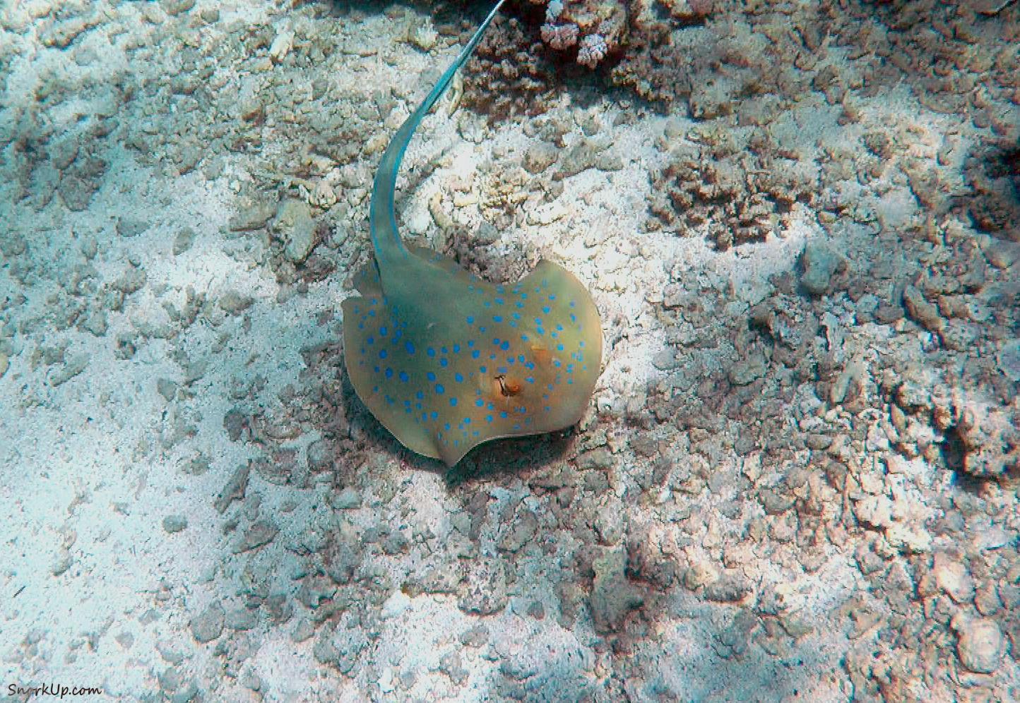 Пятнистоголубой скат (лат.Taeniura lymma, анг.Bluespotted ribbontail ray)