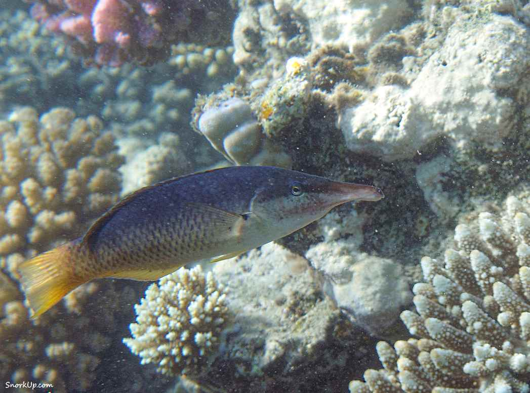 Лазоревый клюворыл - самка (лат.Gomphosus caeruleus, анг.Green birdmouth wrasse)  - cнорклинг в Shams Alam.