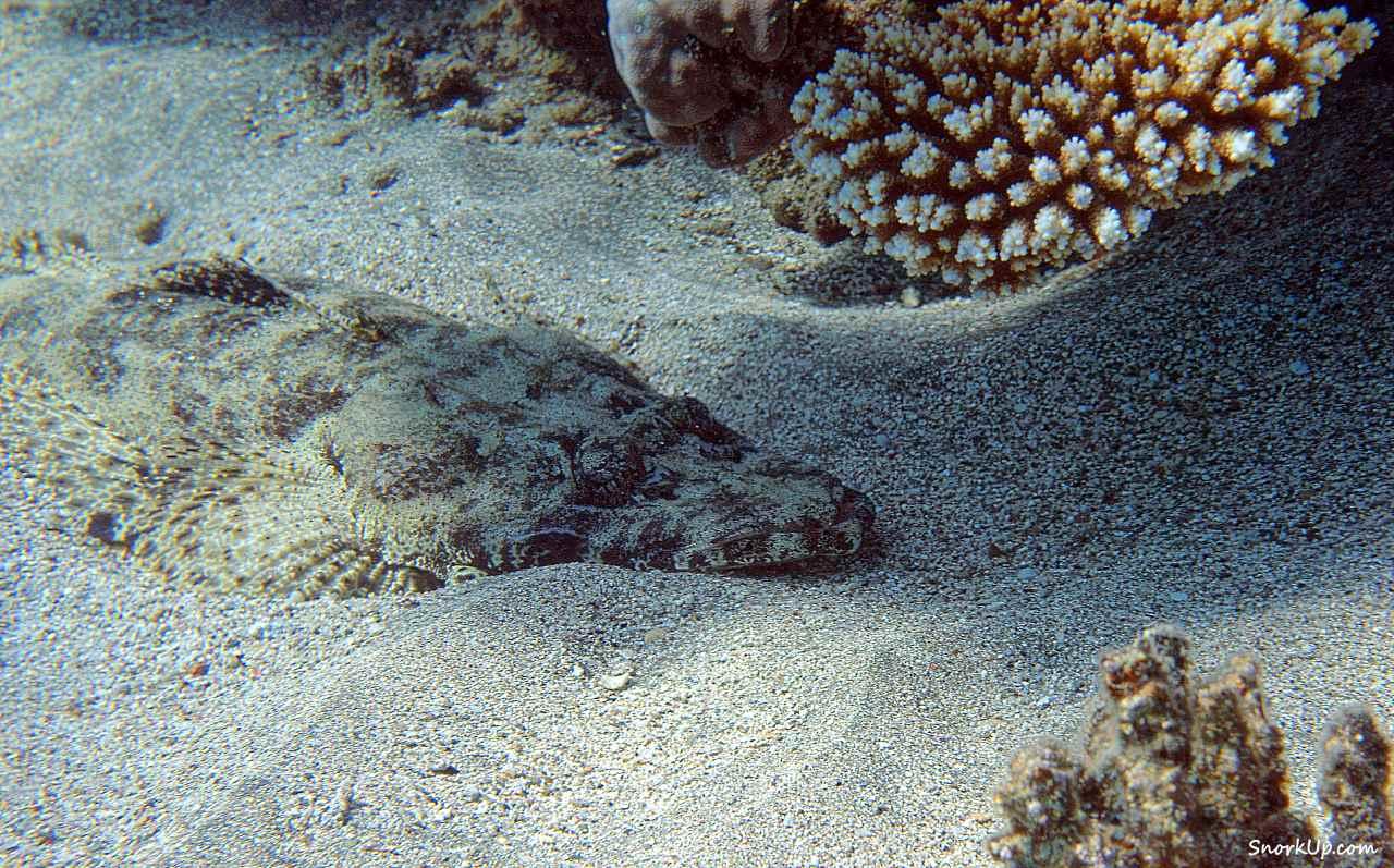 Рыба крокодил (лат.Papilloculiceps longiceps, анг.Tentacled flathead)  - cнорклинг в Shams Alam.