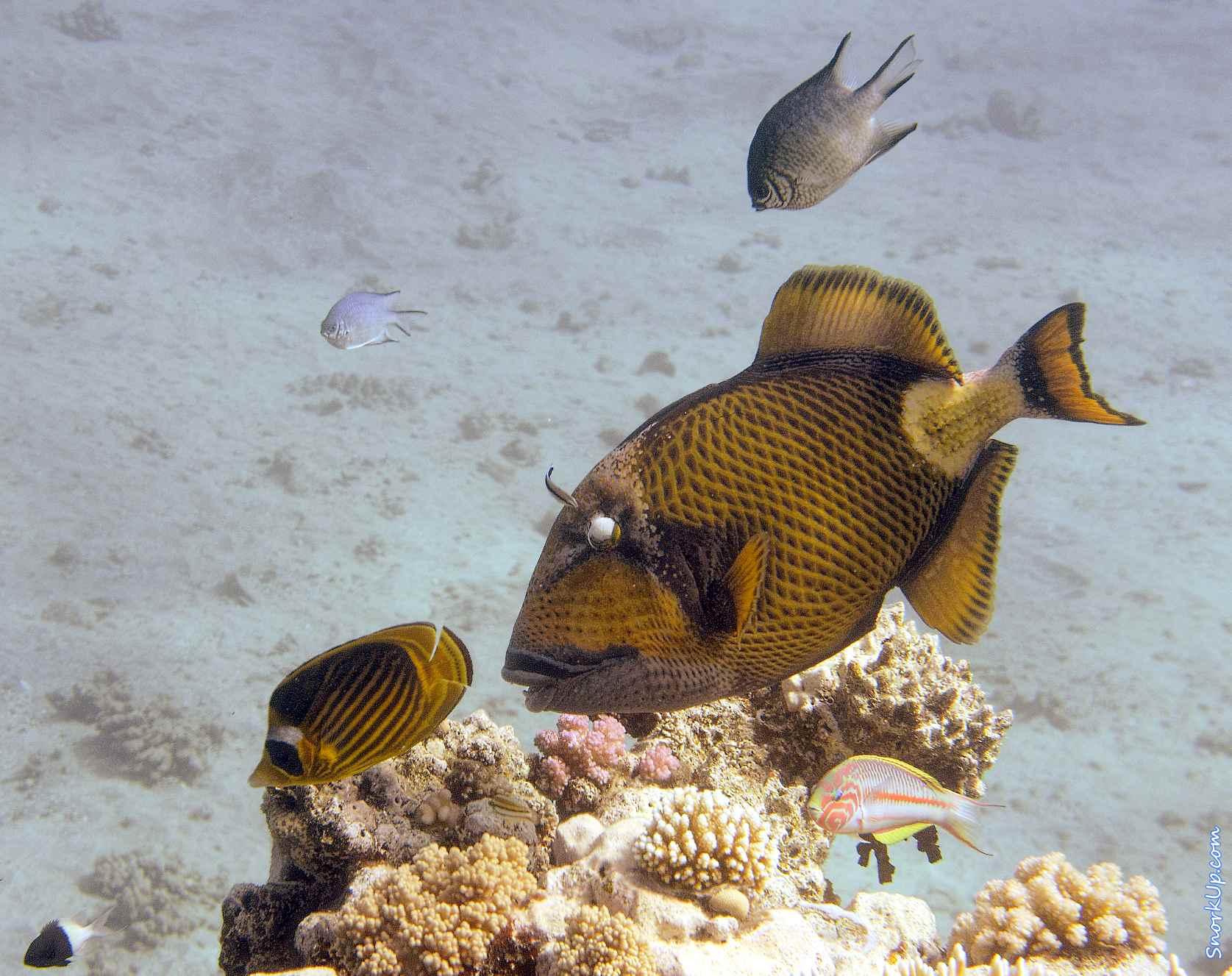 Cпинорог титан (лат.Balistoides viridescens, анг. Titan triggerfish)  - cнорклинг в Shams Alam.