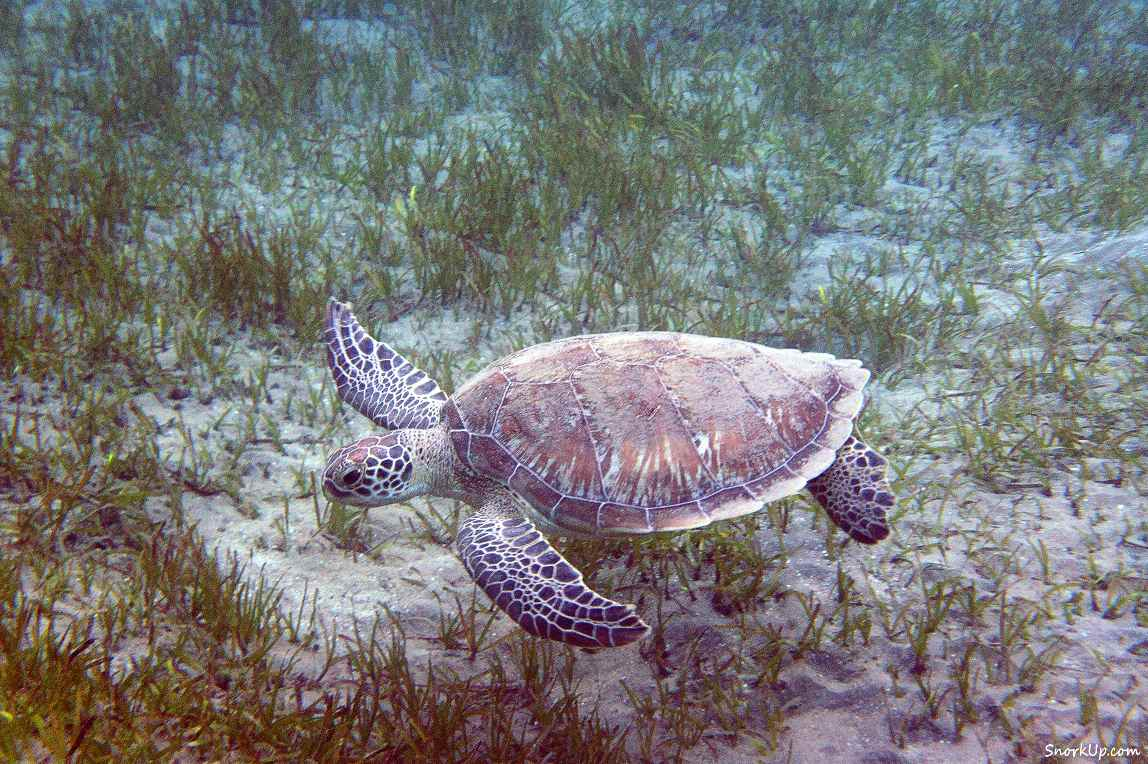 Зелёная черепаха (лат.Chelonia mydas, анг.Green turtle) - cнорклинг в Shams Alam.