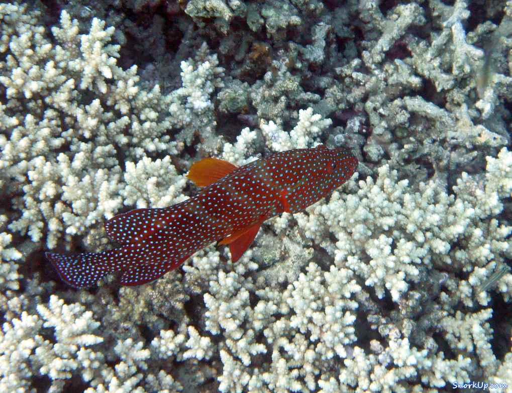 Коралловая гаррупа (лат.Cephalopholis miniata, анг.Coral hind, Сoral trout) - cнорклинг в Shams Alam.