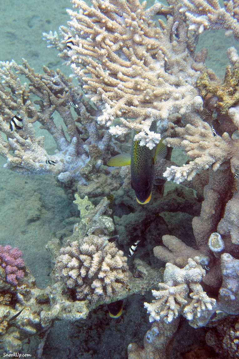 Под коралловым деревцем прячутся чёрнокрапчатые ворчуны  (лат.Plectorhinchus gaterinus, анг.Blackspotted rubberlip).