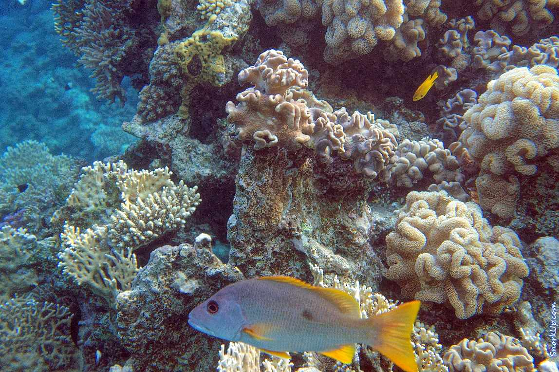 Однопятнистый луциан (лат.Lutjanus monostigma, анг.Blackspotted rubberlip) на фоне мягких кораллов - ночью эти луцианы приобретают однотонную бурую или красную окраску.