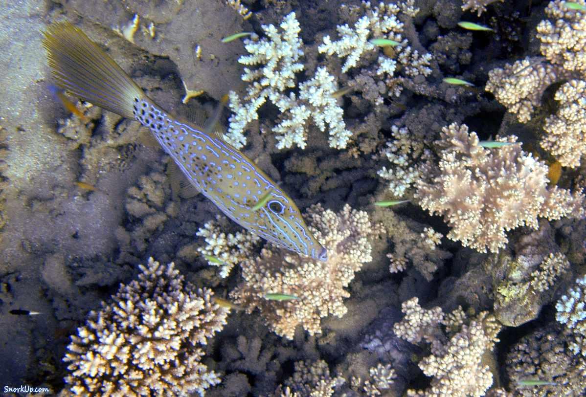 Расписной алутер или рыба-напильник (лат.Aluterus scriptus, анг.Scrawled filefish). К сожалению удался кадр только где его великолепный хвост в сложенном состоянии.