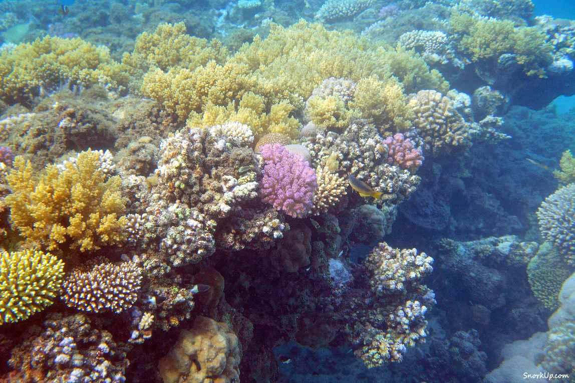 К счастью живых рифов тоже осталось не мало - cнорклинг в Shams Alam.