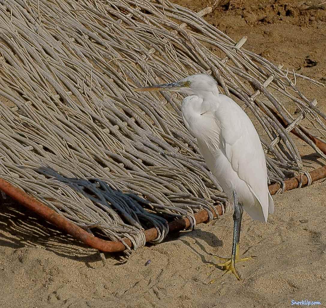 Белая рифовая цапля (лат. Egretta gularis, анг.Western Reef Heron) - в окрестностях Shams Alam.