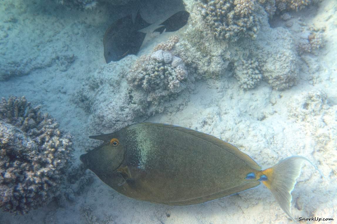 Синешипая рыба-носорог (лат.Naso unicornis, анг.Bluespine unicornfish) что-то ищет в отмерших кораллах...