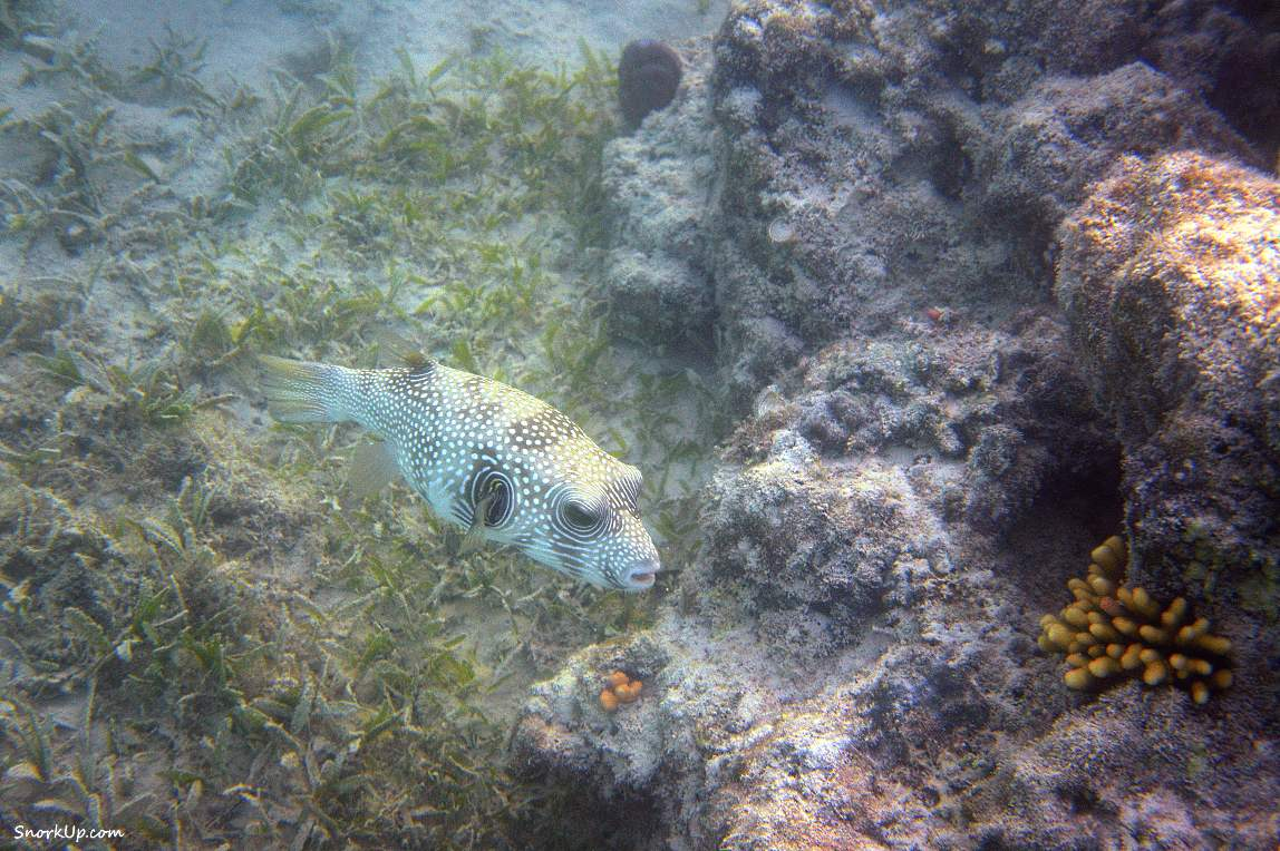 Щетинистый аротрон - Arothron hispidus - White-spotted puffer. Сноркилнг в  лагунах Gorgonia Beach Resort