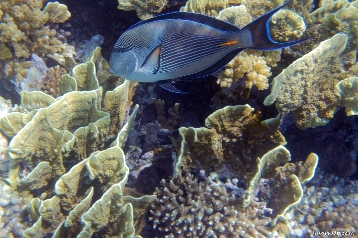 Агрессивный параноик - Аравийский хирург (лат.Acanthurus sohal, анг.Sohal surgeonfish)