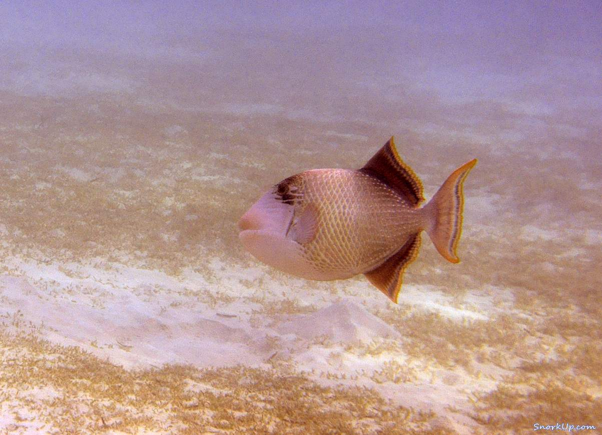Желтомордый псевдобалист (лат.Pseudobalistes flavimarginatus, анг.Yellowmargin triggerfish)