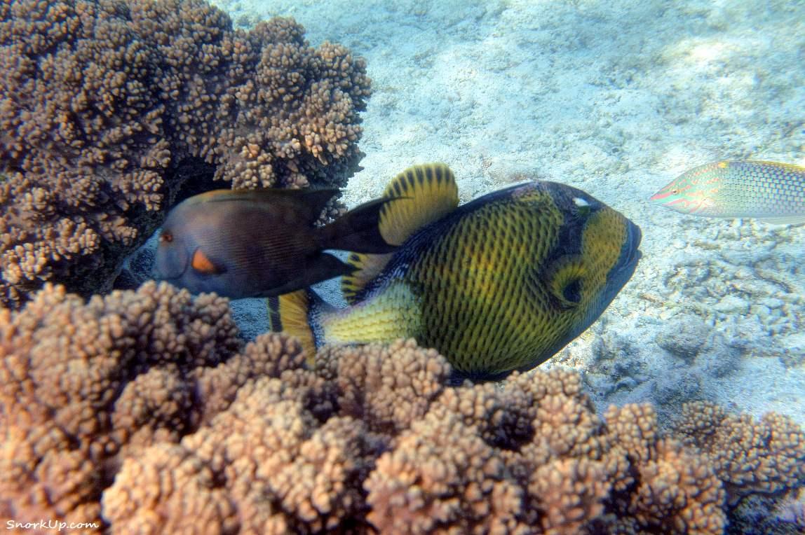 Крупный в центре - спинорог титан (лат.Balistoides viridescens, анг. Titan triggerfish)