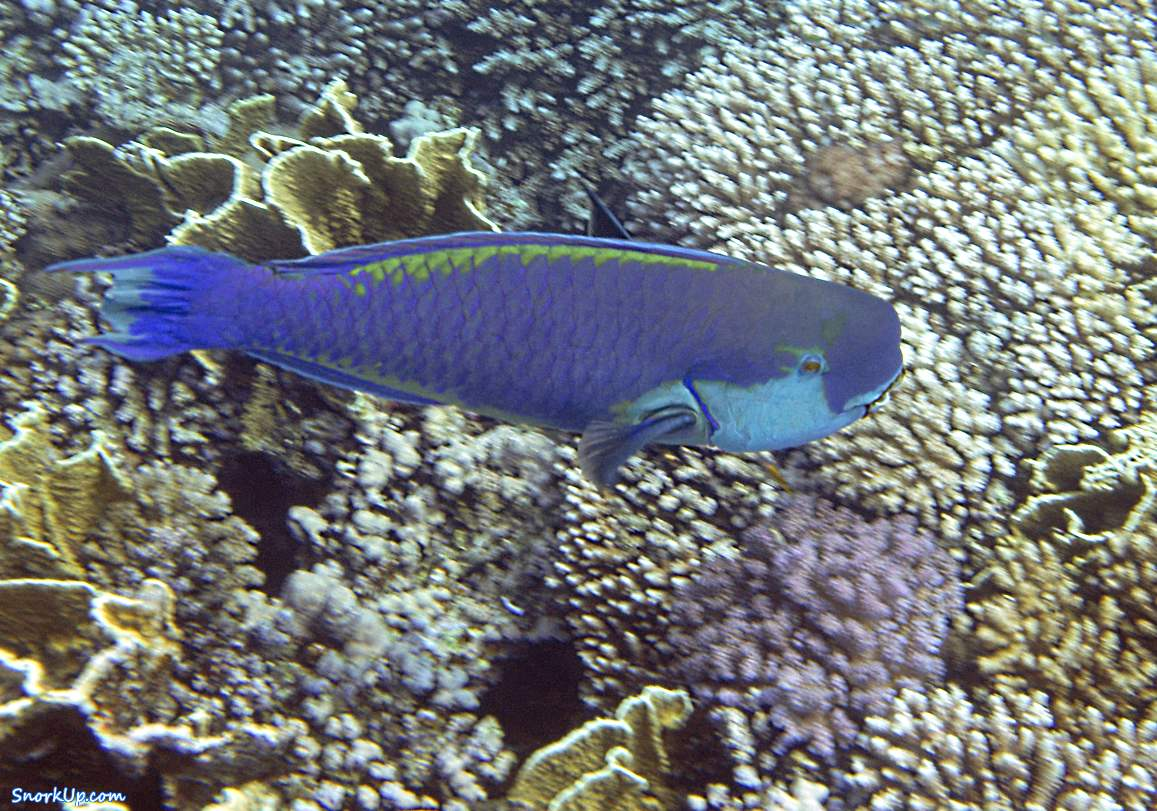 Крутолобый попугай (лат.Chlorurus gibbus, анг.Heavybeak parrotfish)