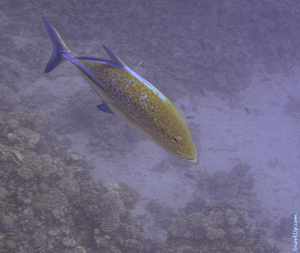 Синеперый каранкс (лат.Caranx melampygus, англ.Bluefin trevally)