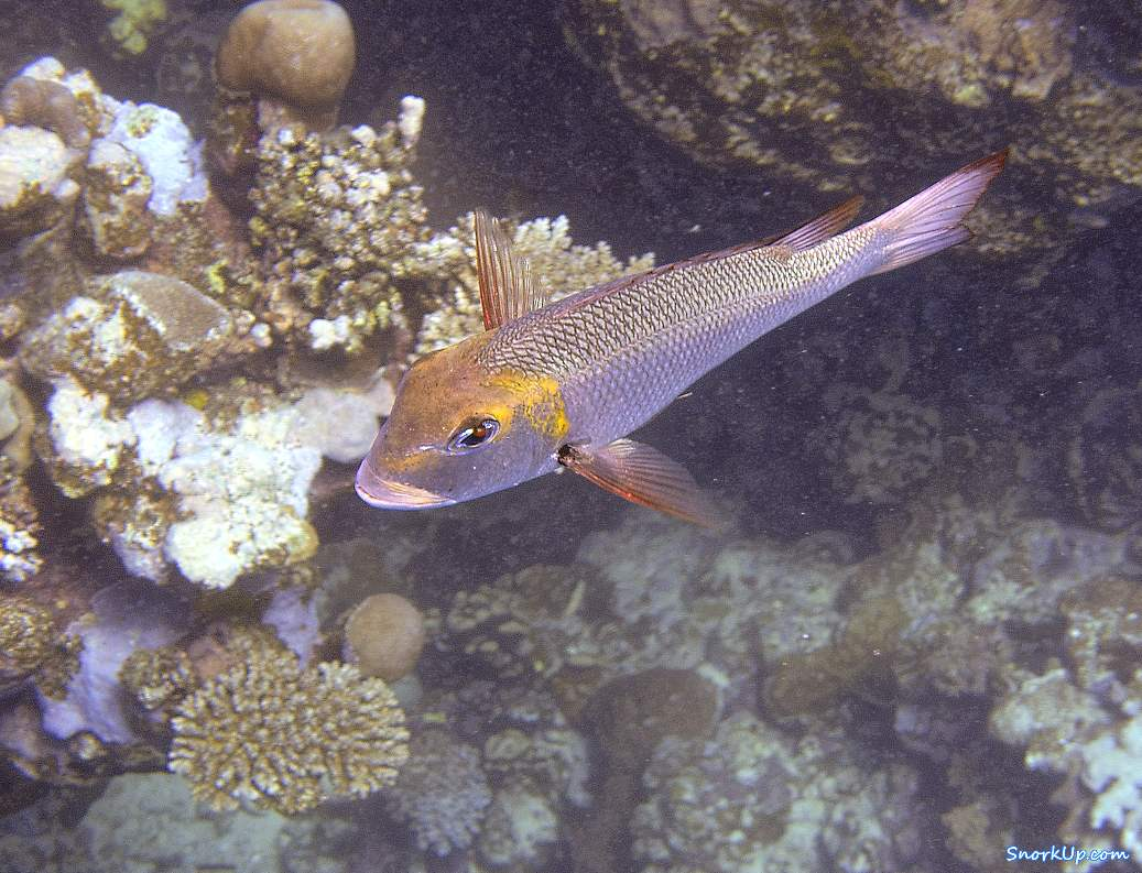 Короткорылый пентапод, лат.Monotaxis grandoculis, анг.Humpnose big-eye bream