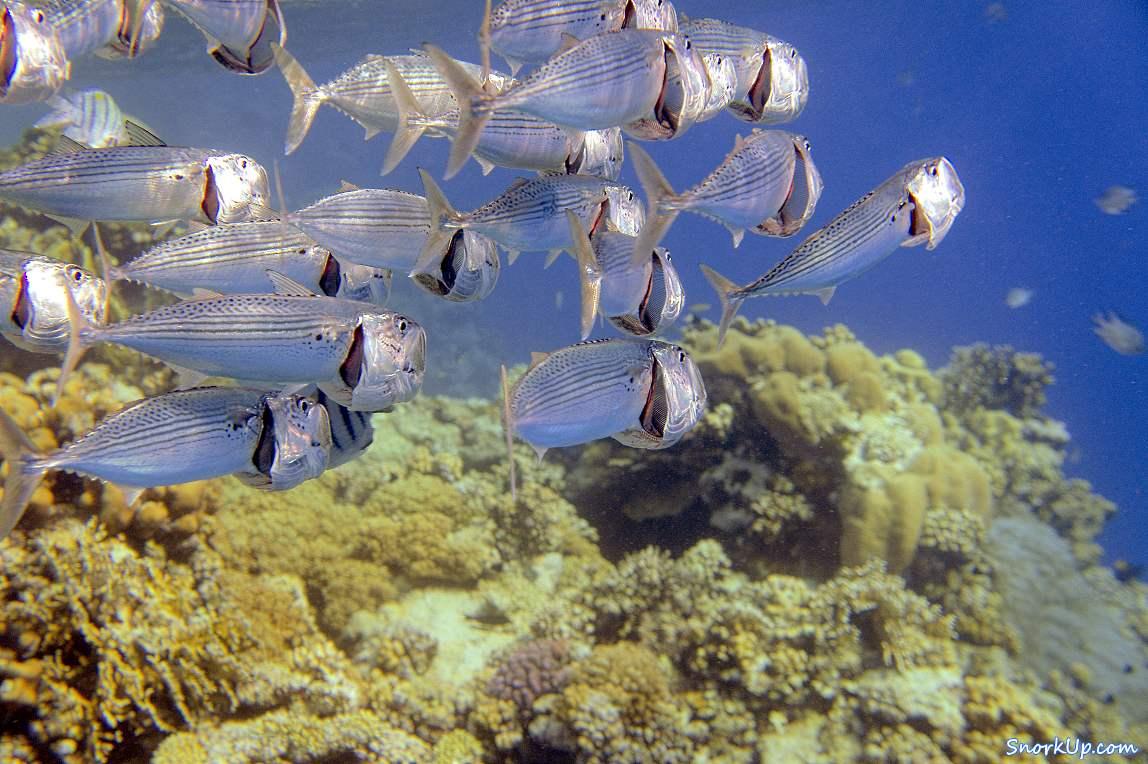 Скумбрии добывают планктон процеживая воду - снорклинг в Марса Алам