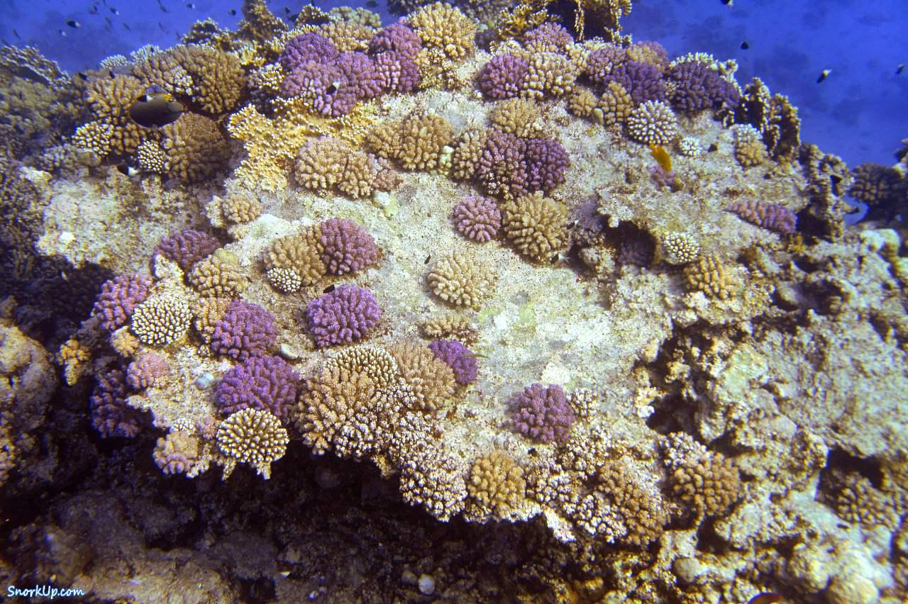 На скелете мертвого коралла сразу же нарастают молодые кораллы - были бы условия приемлимые