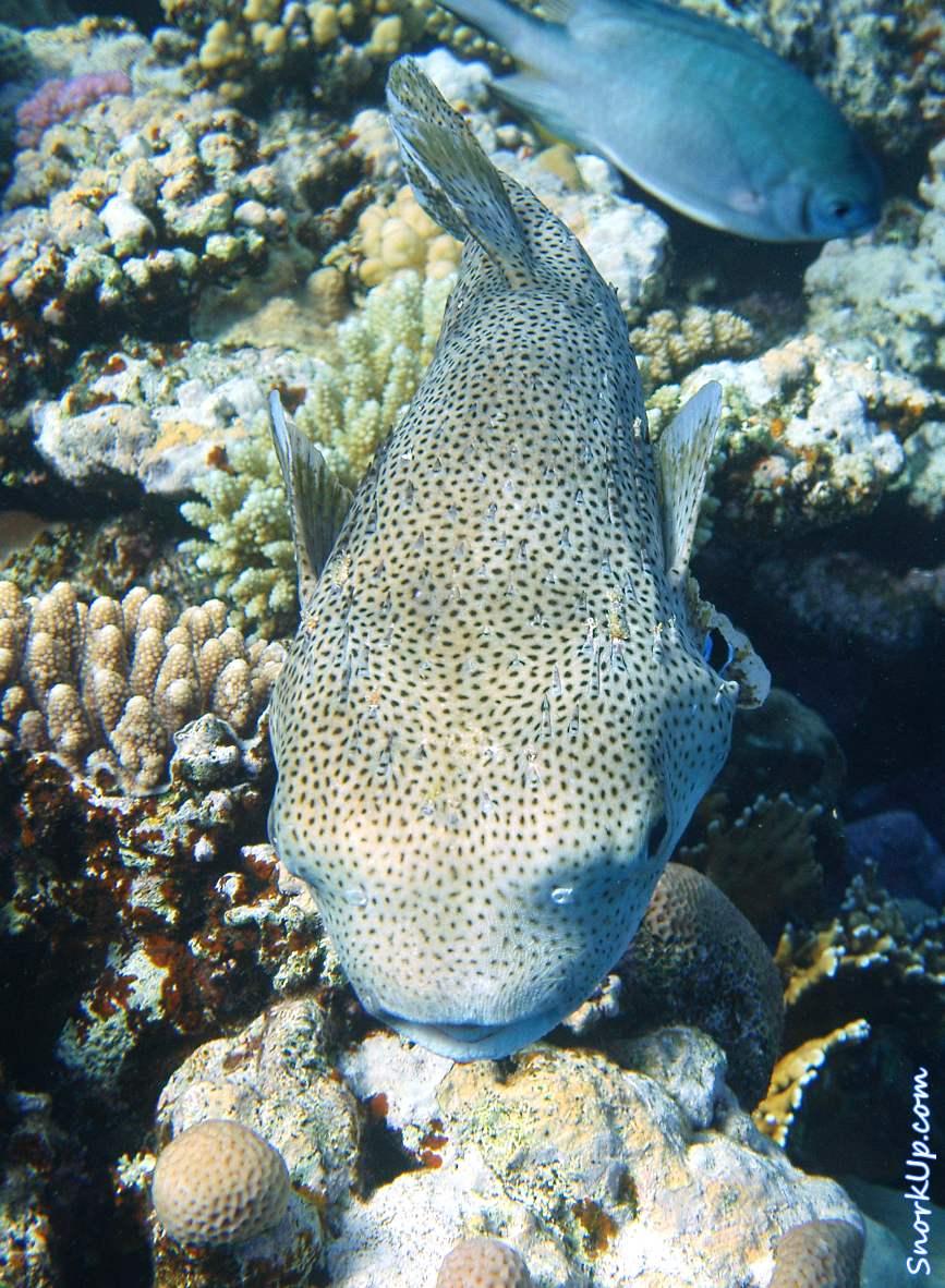 Длинношипая рыба-ёж (лат.Diodon hystrix, англ.Spot-fin porcupinefish) - снорклинг на внешнем рифе Gorgonia Beach Resort