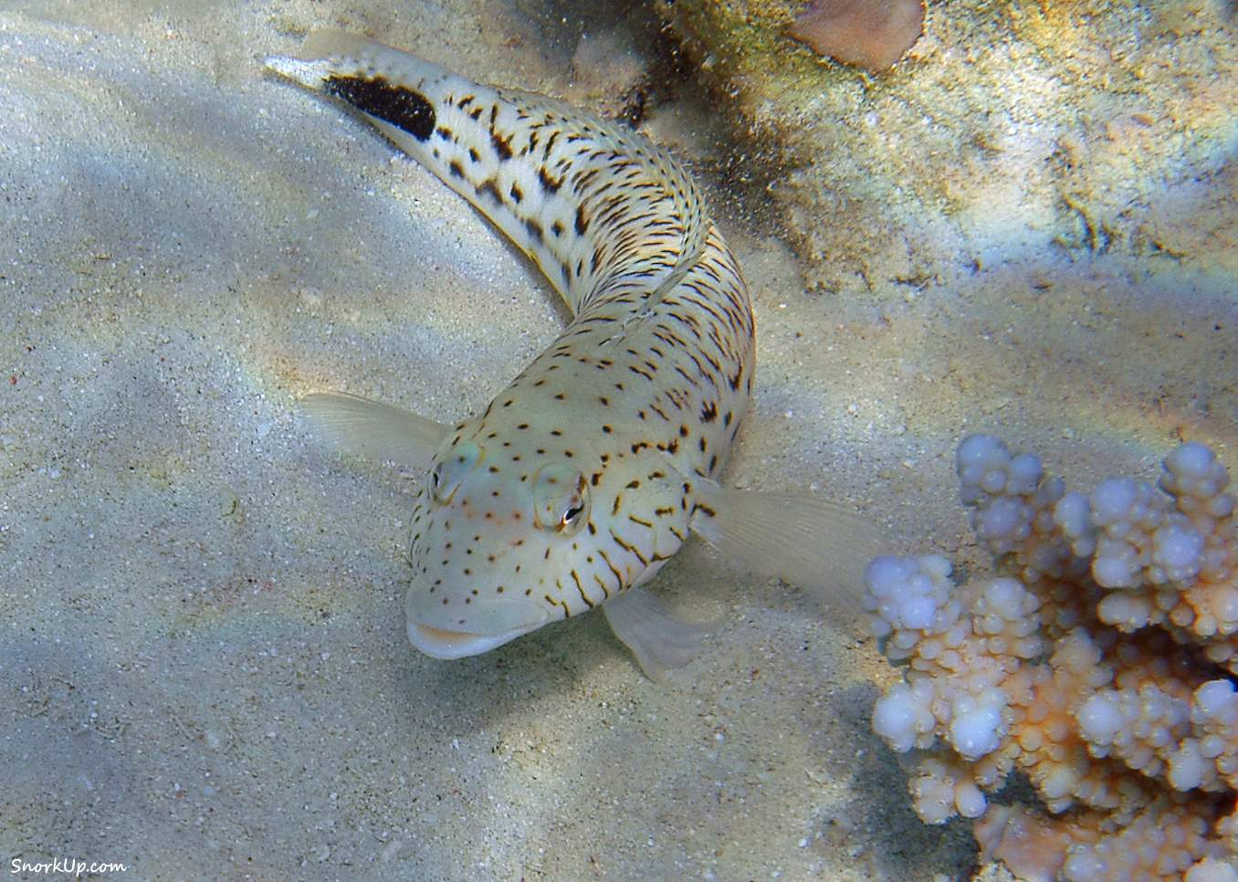 Песочник глазчатый (лат.Parapercis hexophtalma, анг.Speckled sandperch)