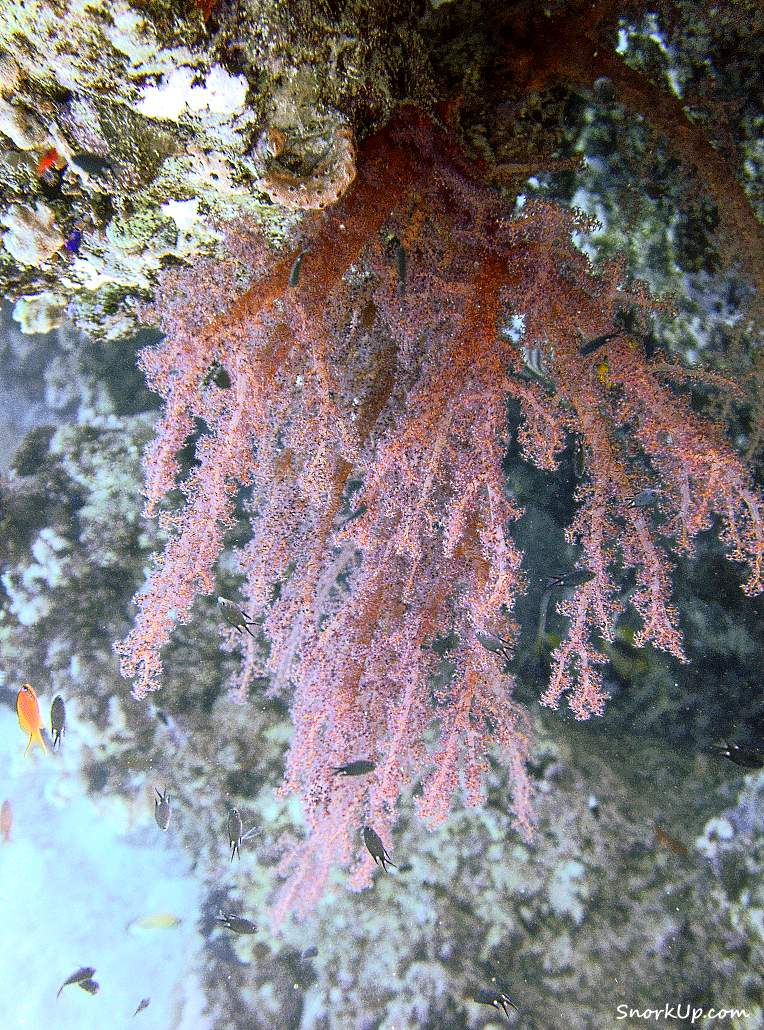 Под рифовым козырьком - Дендронефтия (Dendronephthya sp.)
