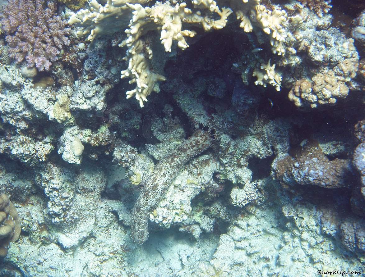 Морской огурец Pearsonothuria graeffei