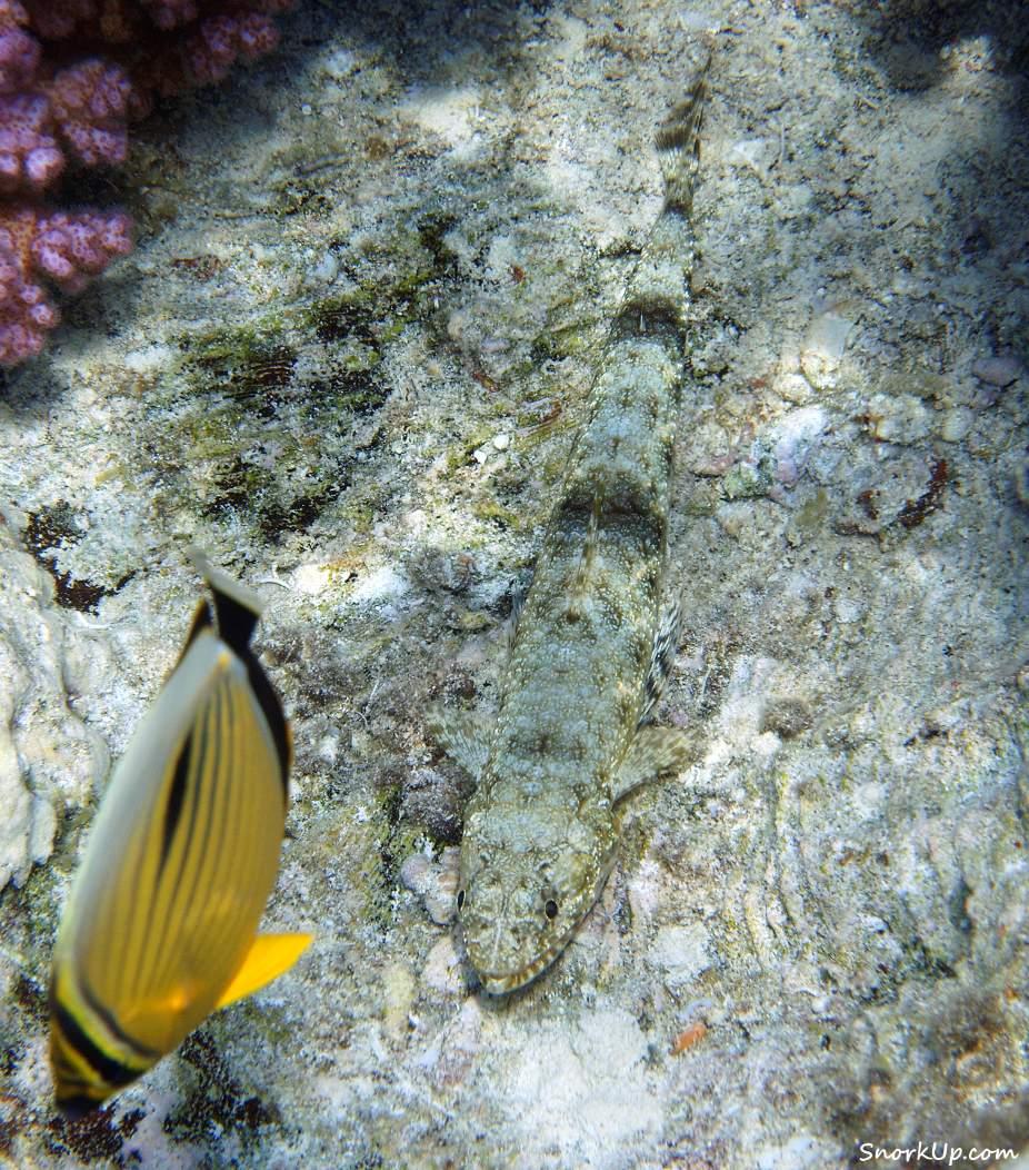 Cерый и длинный - Изящный ящероголов (лат. Saurida gracilis, анг.Gracile lizardfish)