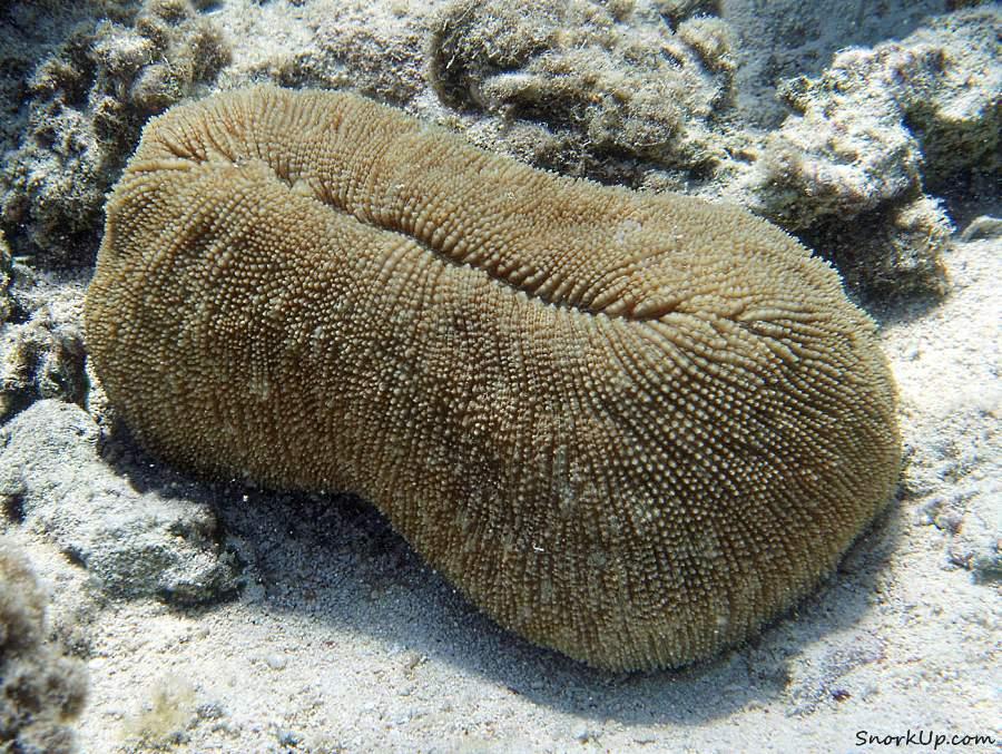 Вытянутый грибовидный коралл (лат.Ctenactis crassa, анг.Elongate mushroom coral)