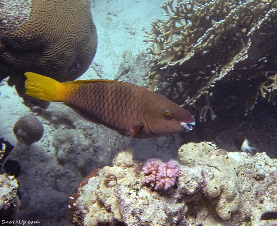 Ржавый попугай (лат.Scarus ferrugineus, анг.Rusty parrotfish) - самка
