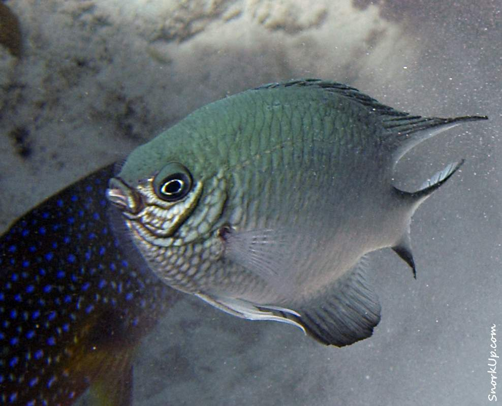 Индийская рыба-ласточка (лат.Amblyglyphidodon indicus, анг.Pale damsel)