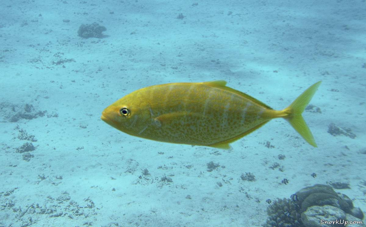 Оранжевопятнистая кавалла (лат.Carangoides bajad, анг.Orangespotted trevally)