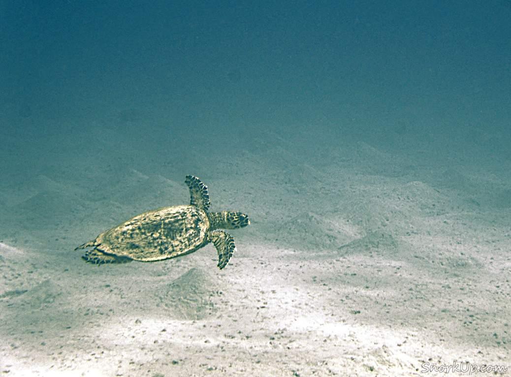 Морская черепаха - вышла на снимке плохо - просто для отчётности )