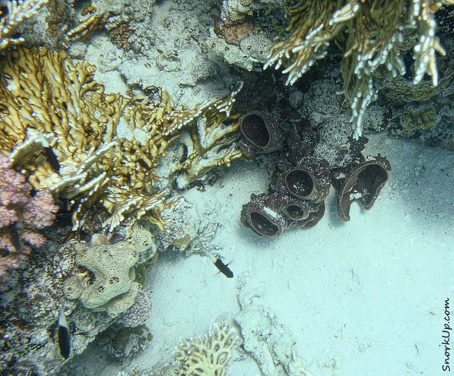 Губка Каллиспонгия грубая (лат.Callyspongia crassa, анг.Prickly tube sponge)