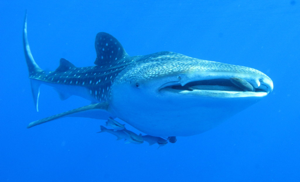 Китовая акула. <small>Автор Derek Keats.<br> Сайт http://www.flickr.com/photos/dkeats/6142991715/</small>