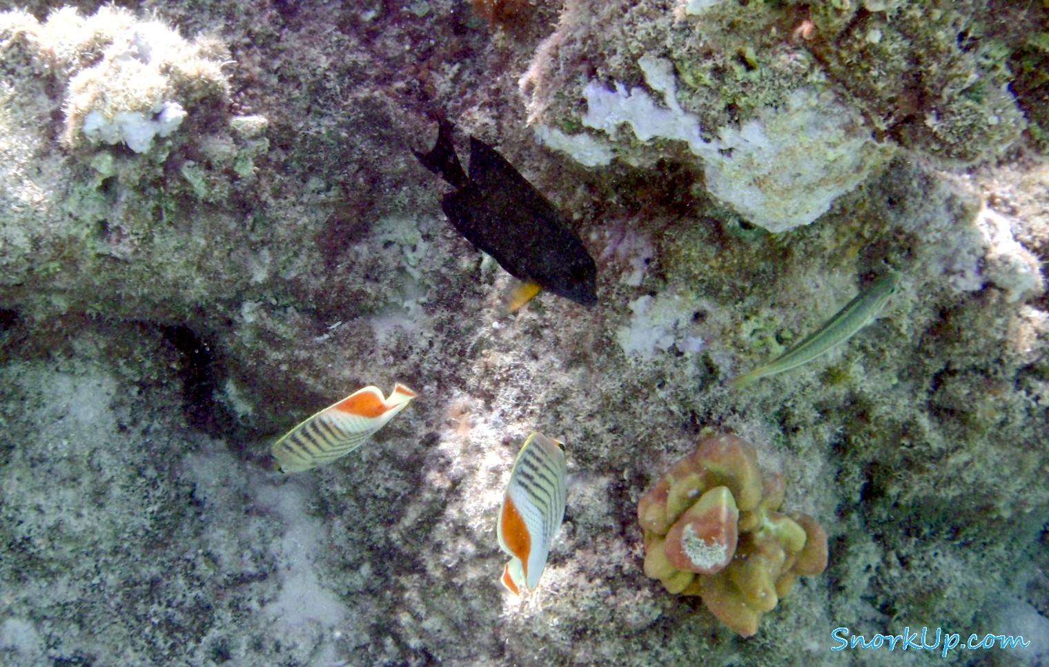 Красноспинные рыбы-бабочки (Chaetodon paucifasciatus)
