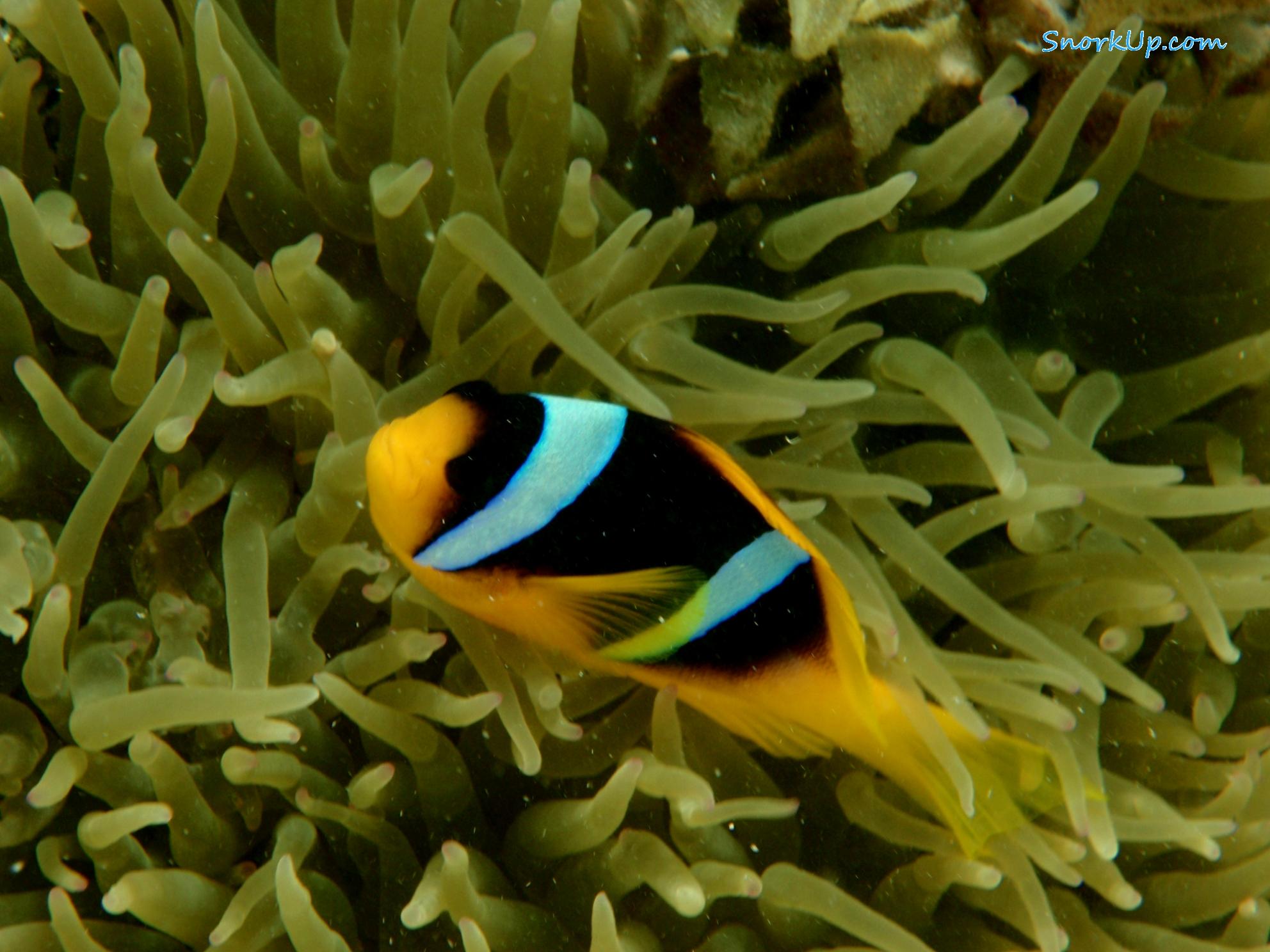 Рыбка-клоун в актинии