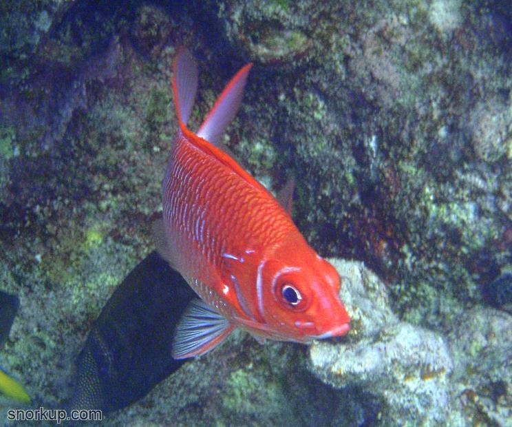 Серебрянопятнистая рыба-белка (лат.Sargocentron caudimaculatum, анг.Silverspot squirrelfish)