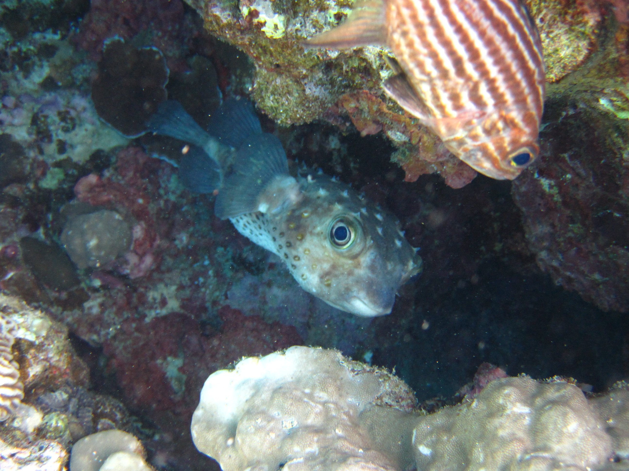 Cyclichthys spilostylus и , вверху —  Большезубый кардинал - Cheilodipterus macrodon - Large-toothed cardinalfish