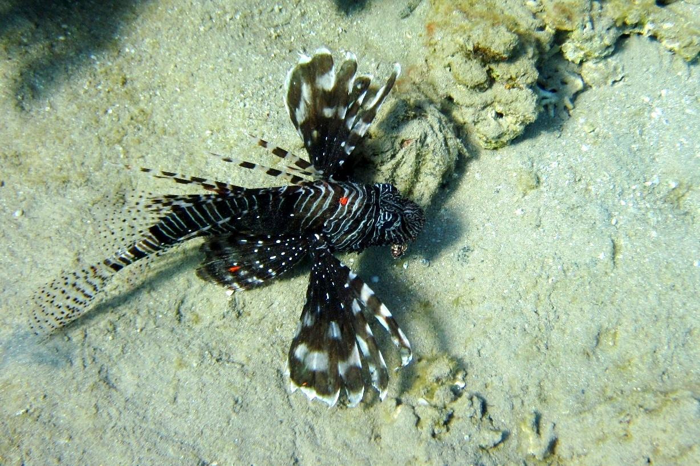 Крылатка Pterois sp.